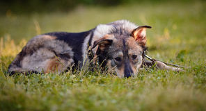 The dog lies on a grass. Royalty Free Stock Images