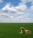 Dog lies on green field under blue sky
