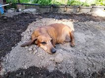The dog lies on the ground, digging a hole. natural cooling for the animal. summer heat in the countryside. hunting dog Dachshund stock photos
