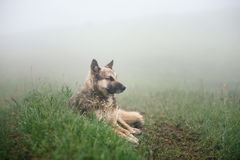 Dog lies on the ground in the fog Royalty Free Stock Photography