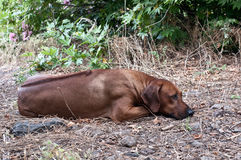Dog lies on the ground Royalty Free Stock Photos