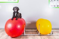 Dog lies on inflatable ball in vets office Stock Photography