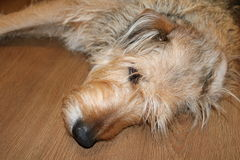 A dog lies on its side on the floor Stock Image