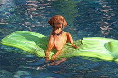 Dog lies on raft in pool Stock Photos