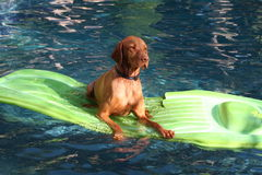 Dog lies on raft in pool. A talented dog, breed is Vizsla, is lying on a lime green rubber raft in a swimming pool Royalty Free Stock Photos