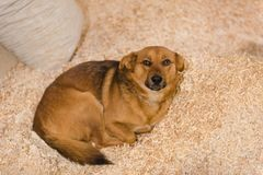 The dog lies in sawdust. The animal is resting and warming. Redhead domestic dog royalty free stock photo
