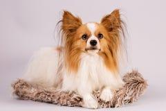 Dog lies on a shaggy rug
