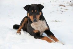 Dog lies on a snow. And looks to camera Royalty Free Stock Photo