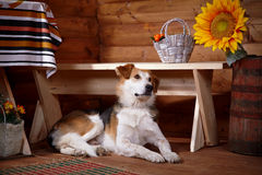 The dog lies under a bench in the rural house. Stock Photos