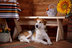 The dog lies under a bench in the rural house. Royalty Free Stock Photography