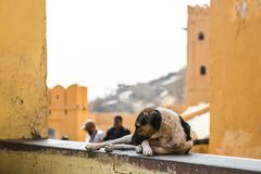 The dog lies on the wall. Pictures of India. Amer Fort
