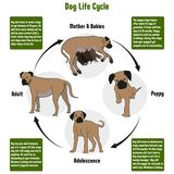 Dog Life Cycle Diagram. With all stages including birth mother and babies puppy adolescence adult simple useful chart for biology science education Stock Photo