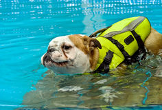 Dog With a Life Jacket. On a deck in a swimming pool Royalty Free Stock Image