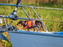 Dog with life jacket is on the front deck of a sailing yacht royalty free stock photography