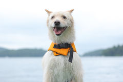 Dog with life jacket. Dog wearing a life vest on the lake Stock Photos