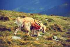 A dog lifeguard with a backpack in a hike in the summer. Royalty Free Stock Images