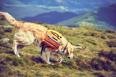 A dog lifeguard with a backpack in a hike in the summer. A dog lifeguard with a backpack in a hike royalty free stock images