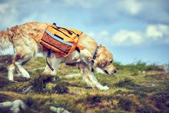 A dog lifeguard with a backpack in a hike in the summer. A dog lifeguard with a backpack in a hike royalty free stock photos