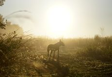 Dog in the light of dawn. Dog in the rays of dawn in summer field royalty free stock photo
