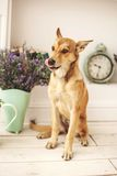 Dog with light hair in old-fashioned decorated room Royalty Free Stock Photo