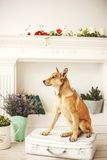 Dog with light hair in old-fashioned decorated room. Dog with light hair in old fashioned decorated room near fireplace royalty free stock image