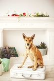 Dog with light hair in old-fashioned decorated room. Dog with light hair in old fashioned decorated room near fireplace royalty free stock photos
