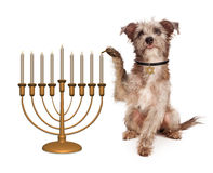 Dog Lighting Hanukkah Menorah. Cute dog wearing a collar with a Jewish star tag lighting candles on a Hanukkah celebration menorah Royalty Free Stock Photo