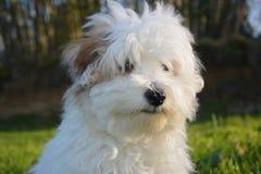 Dog Like Mammal, Dog, Dog Breed, Maltese