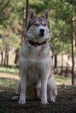 Dog Like Mammal, Dog, Dog Breed, Sakhalin Husky
