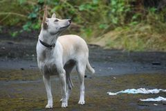 Dog Like Mammal, Fauna, Dog Breed Group, Dog Breed royalty free stock photography