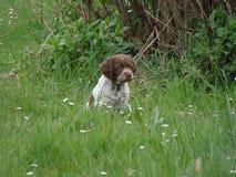 Dog Like Mammal, Small Münsterländer, Dog, Grass Royalty Free Stock Photo