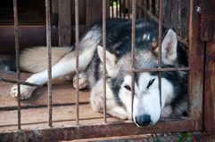 Dog like a wolf closed in a cage. Slipped her face through the bars. Sad dog royalty free stock photo