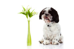Dog with lily of the valley isolated on white background. spring animal Royalty Free Stock Photos