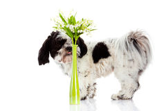 Dog with lily of the valley isolated on white background. spring Royalty Free Stock Photography