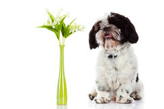 Dog with lily of the valley isolated on white background. spring flowers Stock Image