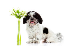 Dog with lily of the valley isolated on white background. spring Stock Photos