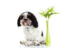 Dog with lily of the valley isolated on white background. spring Stock Photography