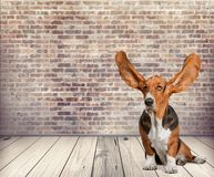 Dog. Listening Animal Ear Humor Animal Basset Hound Hound Stock Photography