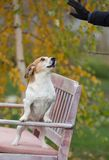 Dog listening commands on bench. Obedient dog standing on bench in park and listening commands from owner Royalty Free Stock Image