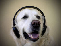 Dog listening music Royalty Free Stock Image
