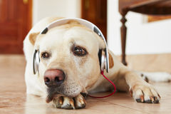 Dog is listening music Royalty Free Stock Image