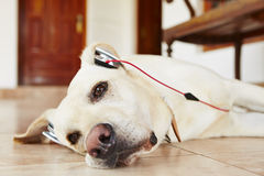 Dog is listening music Royalty Free Stock Images