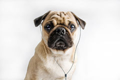 Dog listening to music. A puppy pug is listening to some music through earphones. Isolated on a white background Stock Image