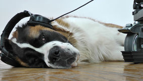 Dog listening to music on headphones Stock Images