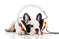 Dog listening to music with headphones. Isolated on white background. French bulldog puppy portrait on a white background Royalty Free Stock Photography
