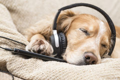 Dog listening to music mobile phone new royalty free stock photos