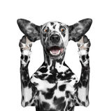 Dog listens attentively some strange sounds. The dog listens attentively some strange sounds royalty free stock images