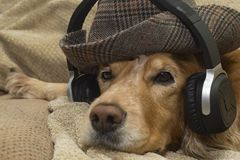 The dog listens to music on the mobile phone while lying on the couch Royalty Free Stock Photos