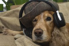The dog listens to music on the mobile phone while lying on the couch. Dog listens to music in headphones The dog listens to music on the mobile phone while Stock Photo