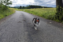 The dog Little collie brings the balloon along the way Stock Images